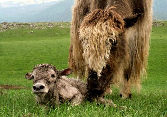 פרה במונגוליה מלקקת את הגור שלה