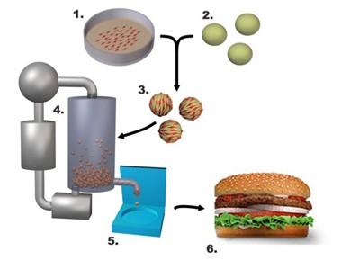 איור לתהליך הייצור של בשר מלאכותי, מתוך כנס מזון ,אמנות ומדע שנערך ב-29.6.2007 ב-Centraal Museum, אוטרכט.