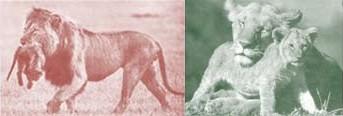 מה נבחר כסמל - אריה הטורף את גור זוגתו או לביאה המתרפקת על הגור - תלוי במסר שברצוננו להפיק מ הטבע , לא ב טבע עצמו